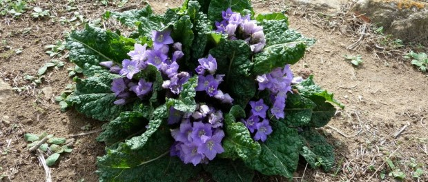 La mandragore bienfaits propri t s posologie - Comment trouver le nom d une plante ...
