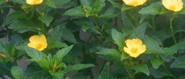 propriétés griffonia simplicifolia